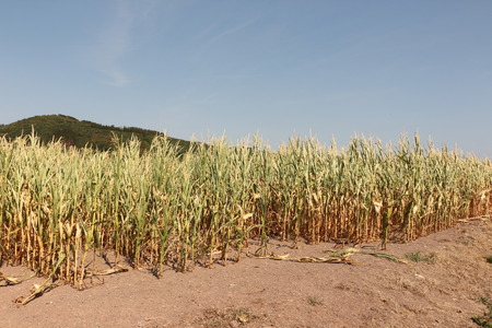 Dried corn field in Sauerland in drought summer 2018