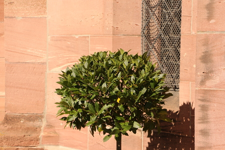 Small bush in front of the Marienkapelle in Hirsau Monastery in the Black Forest