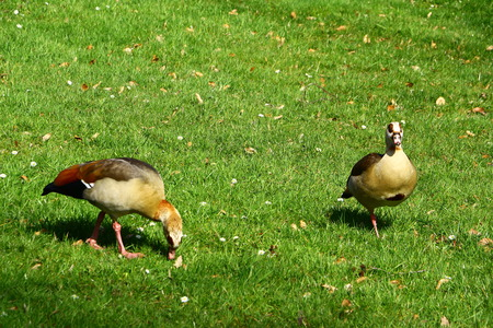 Ducks in the spa gardens of Bad Homburg
