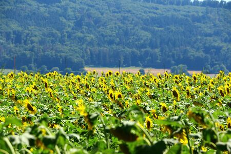 View of a sunflower field in Gottmadingen in southern Germany