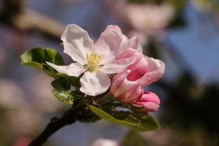Close-up of a blossoming apple tree in spring