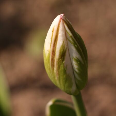 Closed bud of a tulip in spring Standard-Bild