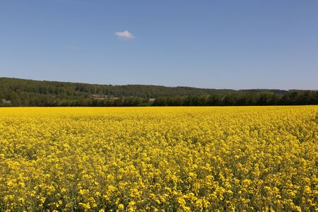 Flowering rapeseed field near Wickede an der Ruhr in the Ruhr valley