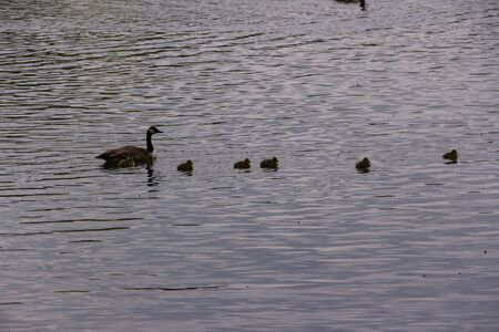 Duck family on the Seilersee in Iserlohn in the Sauerland Standard-Bild