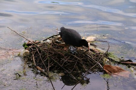 Breeding bird on the Aachen pond in the center of Cologne
