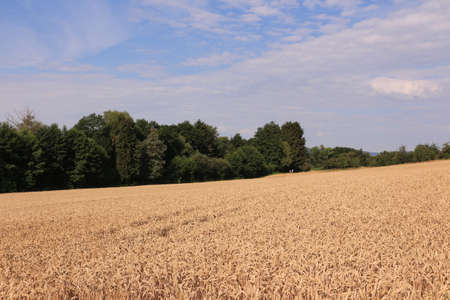 Wide cornfield in summer near Frankfurt am Main