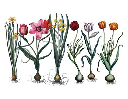 spring bulb flowers illustration  イラスト・ベクター素材