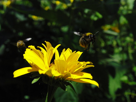 pollination: Pollination by bumblebees