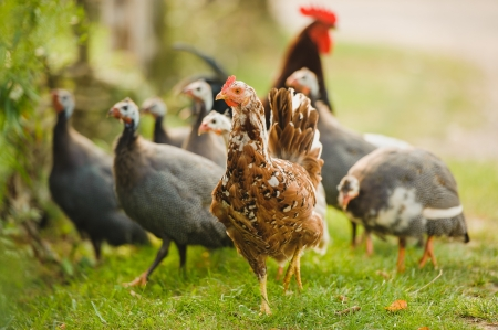 poultry animals: A group of guinea fowl and chicken feeding outdoor