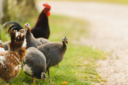 A group of guinea fowl and chicken feeding outdoor