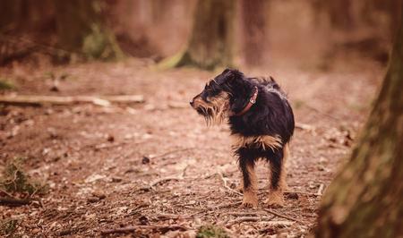 Deutscher Jagdterrier, German hunting terrier, black and tan, in the forest.