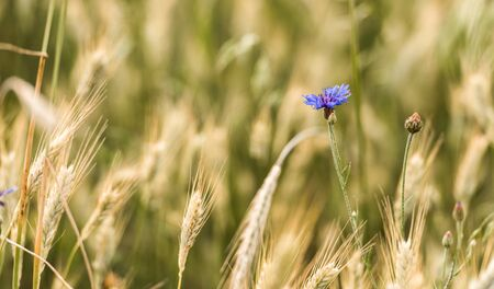 Cornflowers. Fresh. Summer flowers field. Beautiful blue flowers. Close up. Out of focus. Bluebottle in the middle of the wheat field.