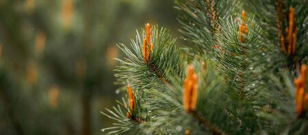 Young Pine shoots on tops of pine branches. Nature concept for design. Archivio Fotografico