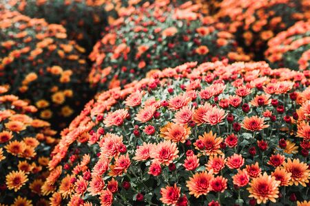 Bright Beautiful chrysanthemums of varying color flower growing in the garden, background image of the colorful flowers. Archivio Fotografico