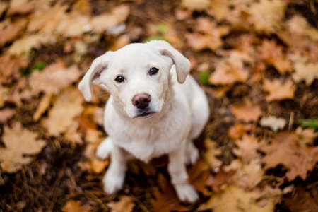 White labrador type, mongrel, dog in autumn forest full of leaves. Zdjęcie Seryjne