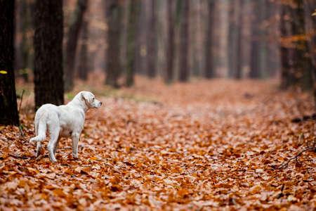 White labrador type, mongrel, dog in autumn forest full of leaves.