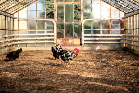 Rooster and chickens on traditional free range poultry farm on a sunny day. Free range poultry farming concept. Zdjęcie Seryjne
