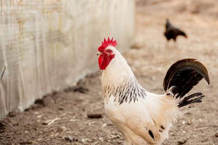 White rooster, organic chicken farm. Traditional poultry. Zdjęcie Seryjne