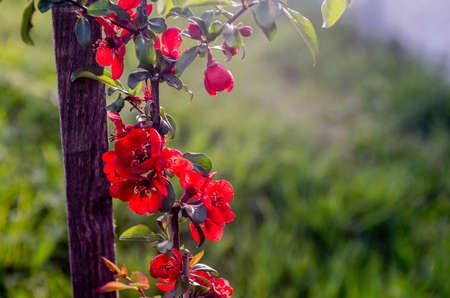 Close up delicate red flowers of Chaenomeles japonica shrub, commonly known as Japanese quince or Maule's quince in a sunny spring garden, beautiful Japanese blossoms floral background, sakura. Zdjęcie Seryjne