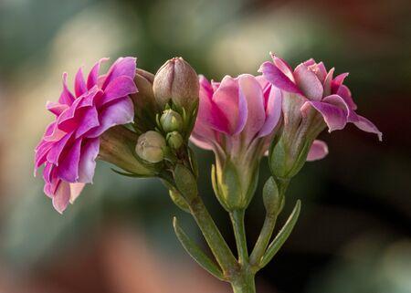 Beautiful flower blossoming. Macro closeup. Artistic elegance, fragile serenity. Imagens