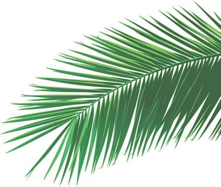 Palm leaf Stock Vector - 7931019