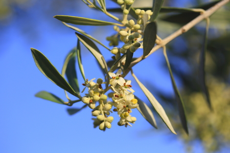 Closeup of a blossoming olive tree in early summer  Stock Photo
