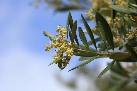 Primo piano di un albero di olivo in fiore in estate