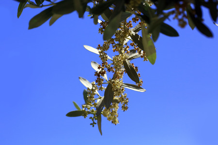 Closeup of a blossoming olive tree in early summer in Datça, Turkey Stock Photo