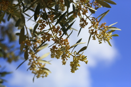 Primo piano di un albero di olivo in fiore all'inizio dell'estate