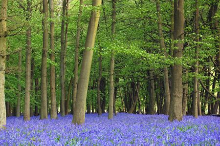 Bluebells cover a forest floor