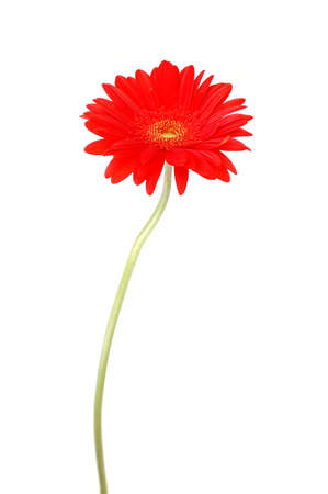 Red gerbera daisy Stock Photo - 6824397