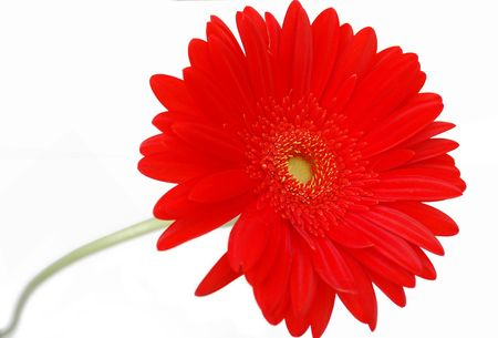 Red gerbera flower Stock Photo - 6824394