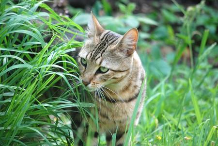 eyed: Green eyed tabby cat Stock Photo