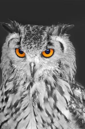 civetta bianca: Gufo in bianco e nero con occhi arancioni brillanti Archivio Fotografico