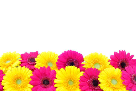 closeup of pink daisy with: Spring daisies border
