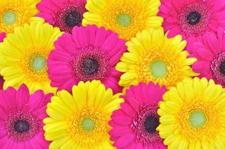 Yellow and pink gerberas  photo