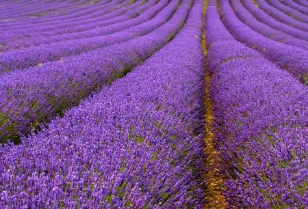 lavender flowers: Lavender field  Stock Photo