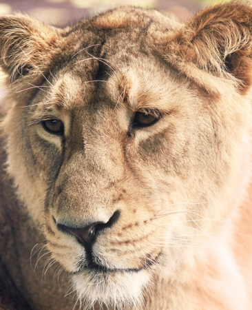 Lioness Stock Photo - 16604307