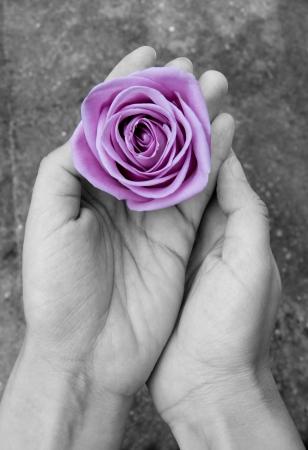 violet flower: purple rose