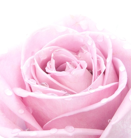 mother 's day: Pink rose with water droplets