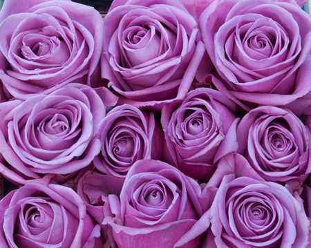 Bunch of purple rose flowers