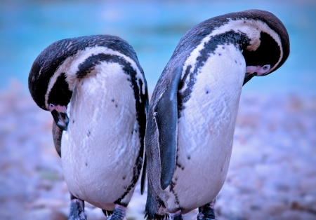 Pair of penguins photo