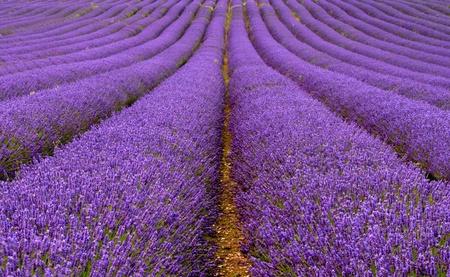 lavender field: Lavender field  Stock Photo