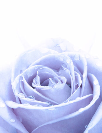 blue rose: Blue rose  Stock Photo