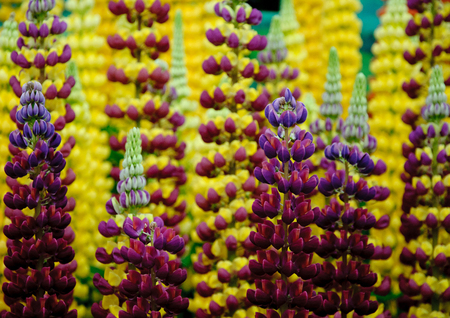 chelsea: Lupins at the Chelsea Flower Show 2014, London, England
