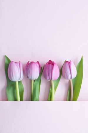 Pink tulips inside a paper fold with space Standard-Bild - 121547767