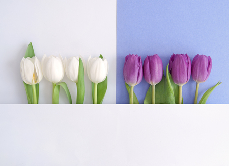 White and purple tulips on a paper background Standard-Bild - 121597185