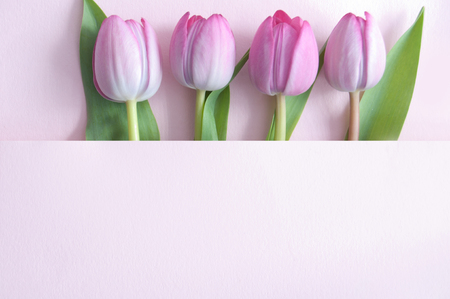 Pink tulips inside a paper fold with space