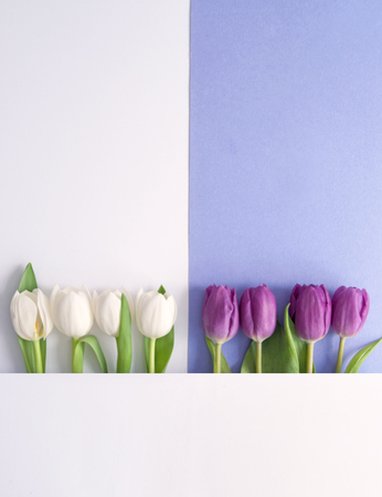White and purple tulips on a paper background Standard-Bild - 121761602
