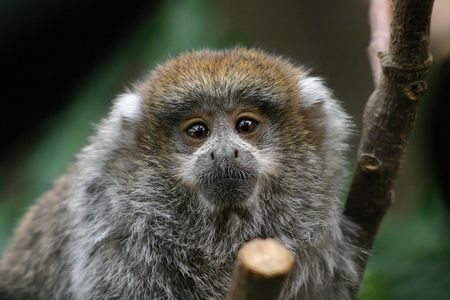A  Titi monkey photographed at a Central Coast zoo in California